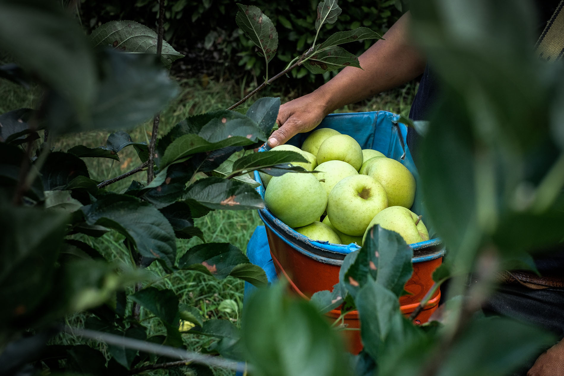La Saporita, raccolta delle mele
